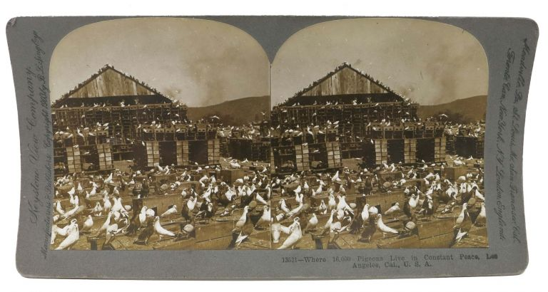 Where 16,000 Pigeons Live in Constant Peace, Los Angeles, Cal., U.S.A. California Stereoview Photograph, J. Y. - Farm founder. Singley Johnson, B. L. - Image copyright holder.