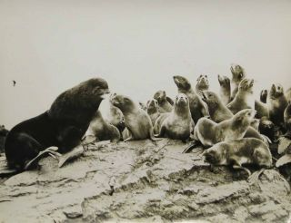 CAPTIONED PHOTOGRAPH ARCHIVE DEPICTING ALASKAN SEALS. Harry J. Christoffers, d. 1939