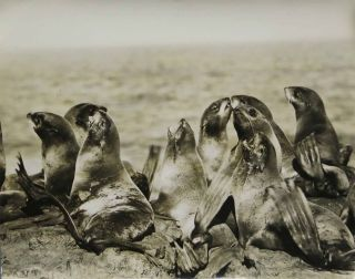 CAPTIONED PHOTOGRAPH ARCHIVE DEPICTING ALASKAN SEALS.