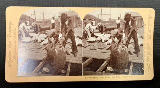 9142 -- SHIPPING GREEN TURTLE, Key West, Fla., U. S. A. Stereoview Photograph, Keystone View...